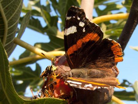feigenbaum: Basisrecheneinheit und Bienen auf Feigenbaum