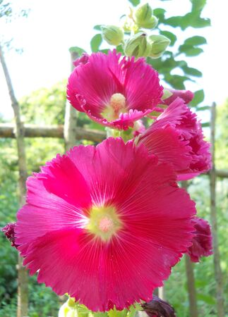 hollyhock: hollyhock flowers in garden