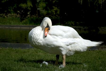 nestle: Swan nestle in front of lake