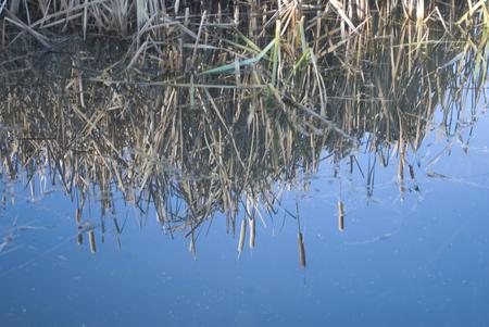 bulrush: Bulrush Water reflection