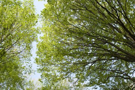 gazing: Tree gazing in woods -  Big tree with green leaves, Sun shining through canopy of tall beech trees Stock Photo