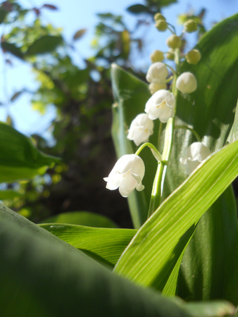 Lily of the valley - copy space