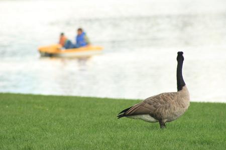 umschwung: Rolle Umkehr Goose Menschen auf dem Land gerade im Bereich der Wasser - Lizenzfreie Bilder