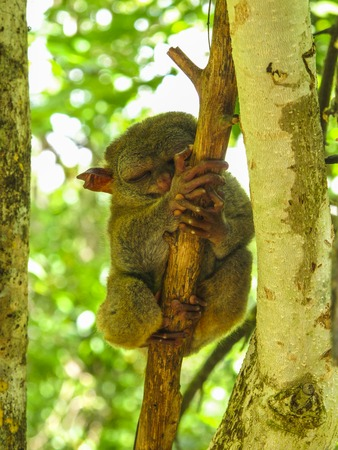 freaked: A tarsier in a reserve in Bohol Island, Philippines