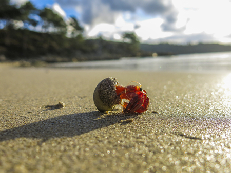 A hermit crab walking in the beach, Galicia, Spain Stock Photo