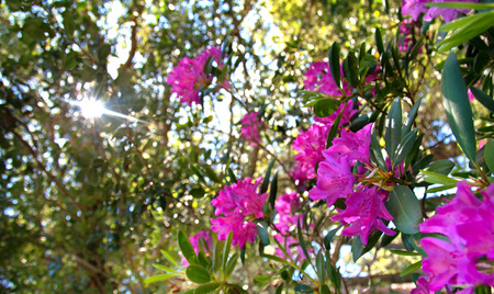 Wild Mountain Rhododendrons