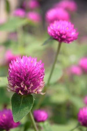 purpule: it is an indonesian shurbs flowers Stock Photo