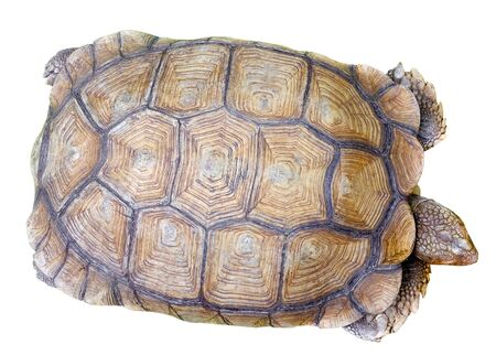 TORTOISE: topping view of the tortoise shell on white background Stock Photo