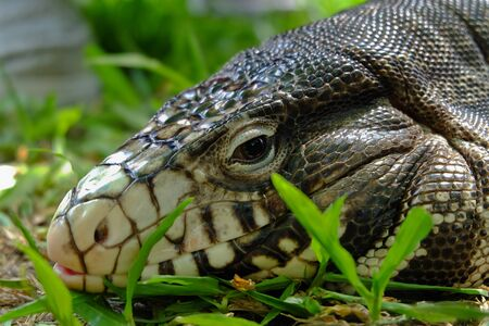 reptilia: close-up the head of caiman lizard on the floor Stock Photo