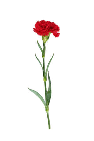 red  carnation: red carnation on white background Stock Photo