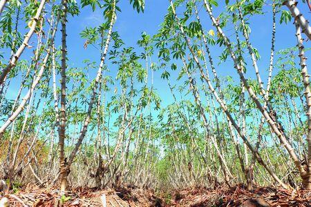 l petrol:  cassava farm growing for animal feeding and making fuel