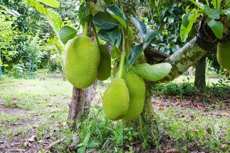 raw jackfruit on tree in garden farm Stock Photo