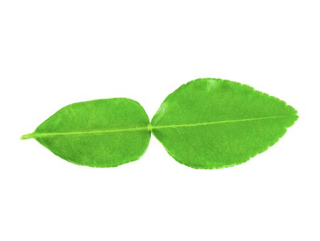 single kaffir lime leaf or bergamot on white background