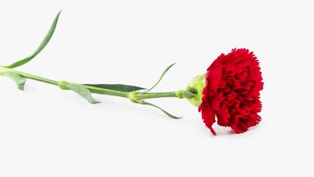 beautiful red carnation flower on white background