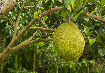 close up jack fruit hanging on tree with leave background Stock Photo