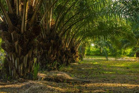 oil plam tree plantation in evening time Banco de Imagens