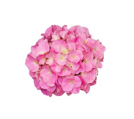 beautiful pink blooming hydrangea flower on white background Stock Photo