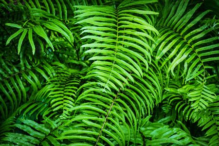 fresh green fern leaves background in rainforest Stock Photo