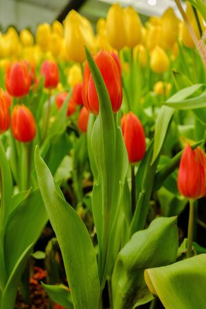 orange and yellow tulips growing in the garden Stock Photo