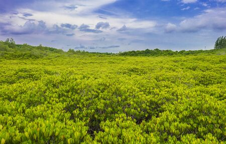 tree top of mangrove forest with blue sky Stock Photo