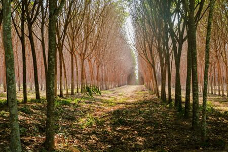 the rubber tree plantation in depth raw