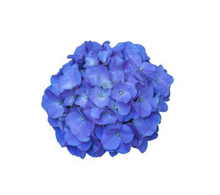 beautiful blooming hydrangea flower on white background Stock Photo