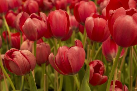 beautiful red tulips flower background in garden