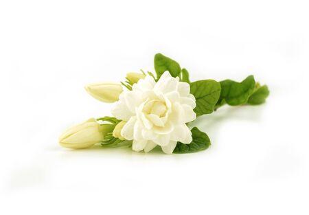 blooming jasmine flower on white background Stock Photo