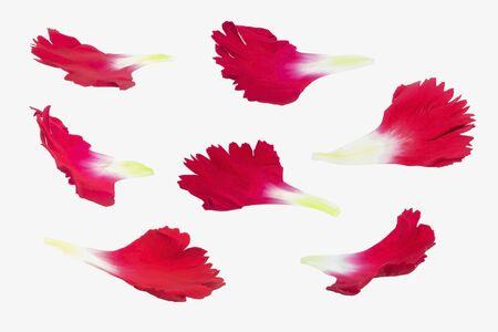 carnation petal flower set on white background Stock Photo - 134865565