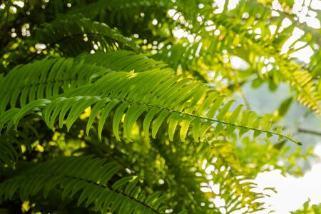 fern leaves background with warm light in morning time Stock Photo
