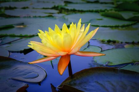 yellow water lily full of the leaves in pond Stock Photo