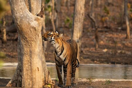 A Royal Bengal Tiger smelling a tree and marking its territory outside of a pond in the forests of India with a blur background