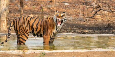 A Royal Bengal tiger Roaring and growling which is also known as canning, standing inside a pond in the woods of India with a blur background