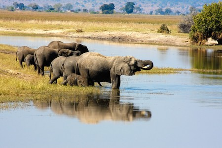 chobe: Elephants in Chobe, Botswana