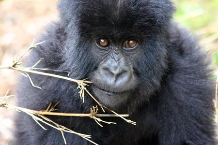 Baby Mountain Gorilla photo