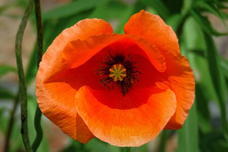 Close up of a red poppy flower with focus on the stems and stigma