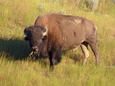 Buffalo or American bison in grassland Imagens