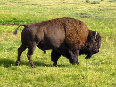 Big brown bison walking in a green field, Yellowstone National Park, USA