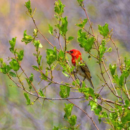Red headed weaver (Anaplectes rubriceps) on bush branch Foto de archivo