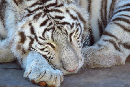Bengal white tiger (Panthera tigris) sleeping