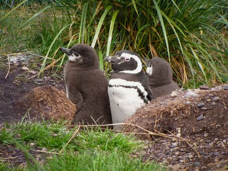 Penguin nest, mama with two cute baby penguins