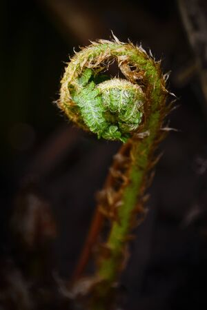 Curled up frond young fern fiddlehead, shallow depth of field 版權商用圖片