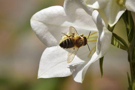 Honey bee on white flower
