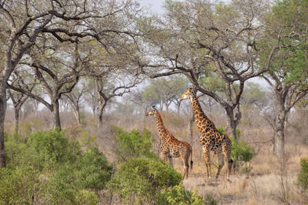 Male and female giraffes (Giraffa camelopardalis) in the African bush, Kruger National Park, South Africa