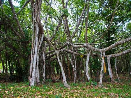 A Big Banyan Tree  photo