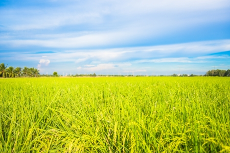 field and sky: rice field