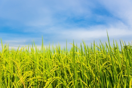 rice field with the blue sky