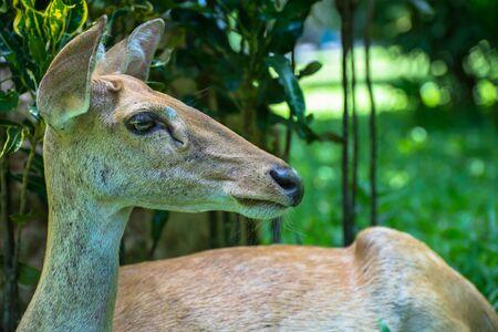 deer spot: the roe deer doe Stock Photo