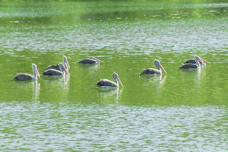 Pelicans in the pond photo