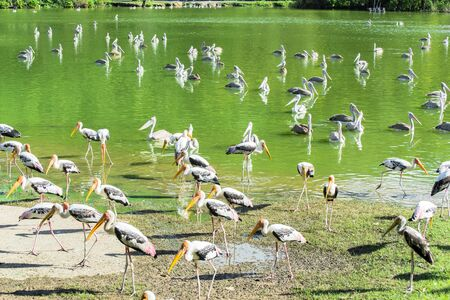 legs spread: Painted storks in the pond